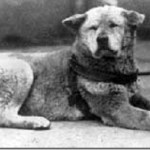 На фото – известный многим пес Хатико (сфотографирован незадолго до его смерти). …