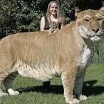 Самая крупная большая кошка на Земле