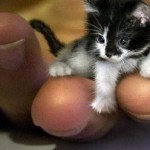 Самым крошечным котом на свете был гималайский кот Тинкер Той из Иллинойса. Он весил 680 грамм, был …