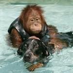После смерти родителей трехлетний орангутан впал в тяжелую депрессию, перестал есть и не поддавался …