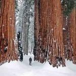 По сравнению с человеком гигантские секвойи кажутся настоящими великанами. Взрослое дерево может име…