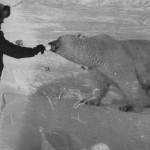 Пограничники Чукотского погранотряда кормят сгущенкой голодную медведицу с медвежатами СССР, 1980-е …