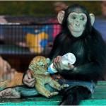 Шимпанзе кормит из бутылочки 28-дневного тигренка в зоопарке Самуту Пракан, Бангкок, Таиланд……