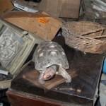 Черепаха 30 лет прожила запертой в кладовой