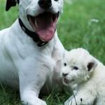 Собака усыновила белого льва
