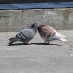 Интересный факт обнаружили российские ученые на улицах Уфы: они выяснили, что 73% голубей — пидоры